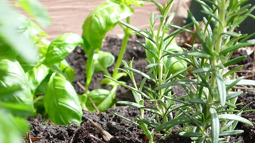Italian Sweet Basil and Rosemary, 5/9/09