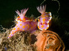 Mating Ceratosoma amoena with egg spiral