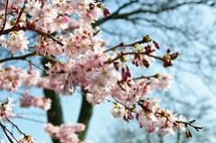 69/365 Blossom