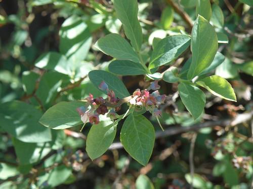 blueberry buds