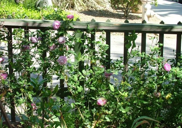 Naturalized fence roses