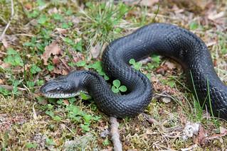 Black-Rat snake