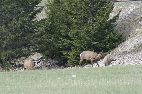 Elks grazing just a few hundred meters away from the Bear
