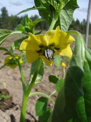 TomatilloBlossom