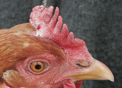 Fowl pox? on ISA brown comb