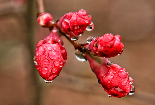 Raindrops on Chinese Quince