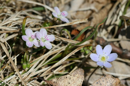 Round-lobed Hepatica and Spring Beauties
