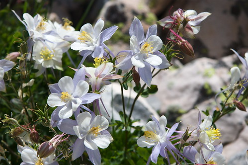 Lofty Peak Columbine