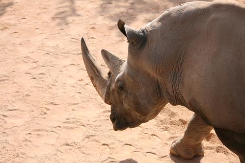 Bioparc rhino