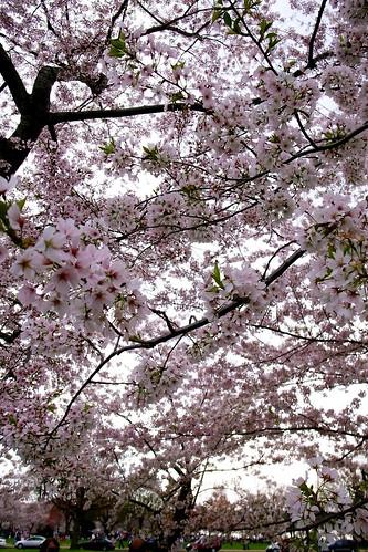 Cherry Blossom @ DC