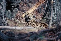 Leopold, male Amur leopard