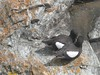 black_guillemots