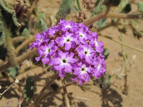 Desert Sand-Verbena by you.