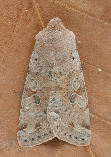 10495 - Orthosia hibisci - Speckled Green Fruitworm Moth (8)