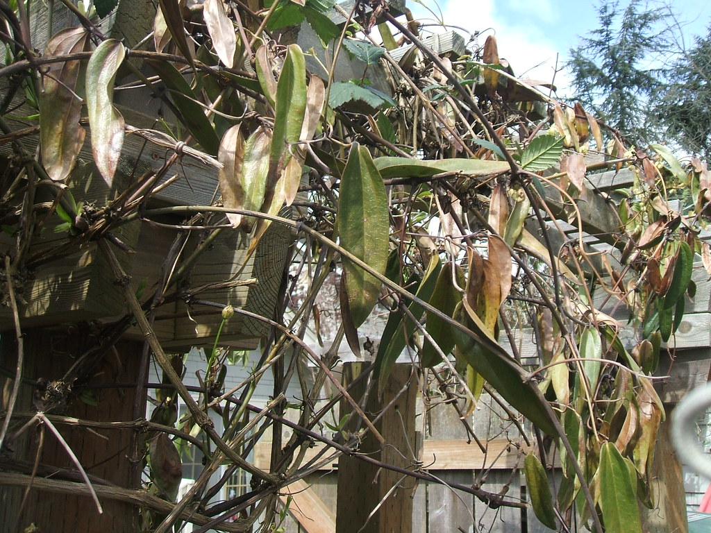 Eek - Clematis armandii foliage not looking good