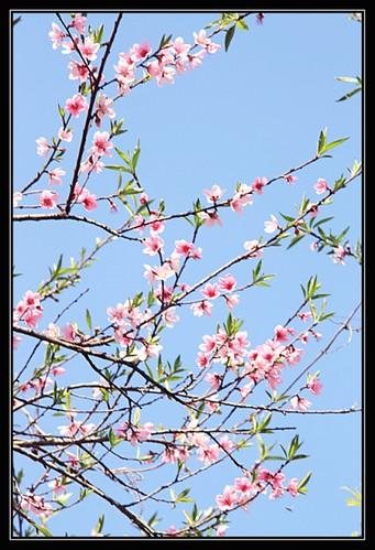 Hoa dao nguoc sang by Quang
