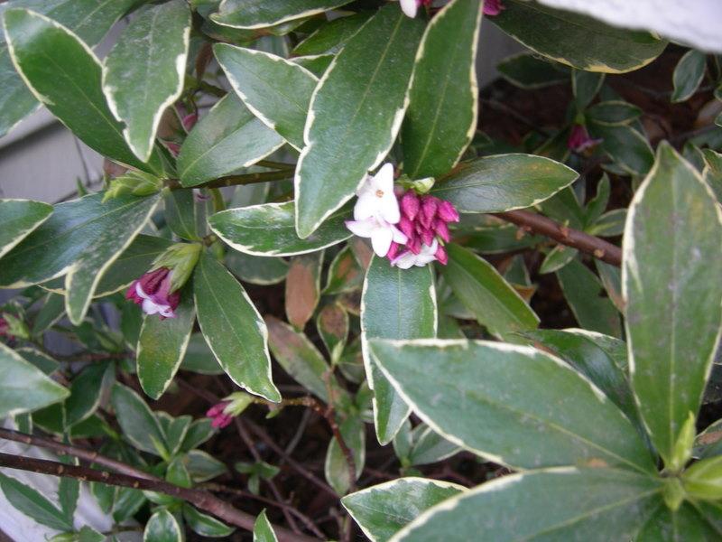 Daphne odora blossoms finally starting to open