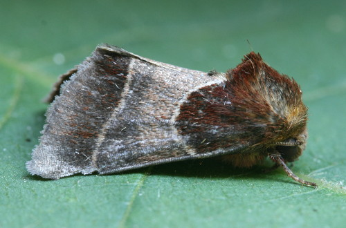 11128 - Schinia arcigera - Arcigera Flower Moth (2)