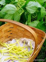 Harvesting Yellow Beans (Photo credit: Sienna Wildfield)