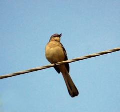 Mockingbird on a wire
