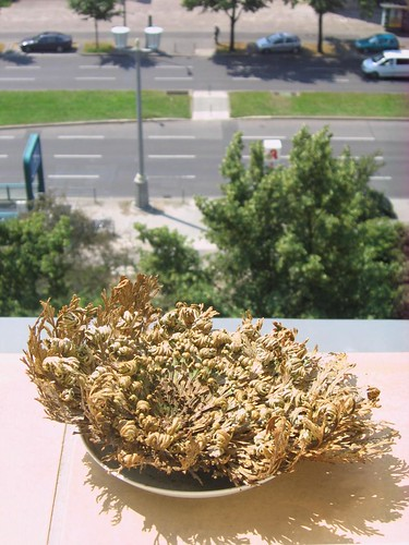 Rose of Jericho in the sun