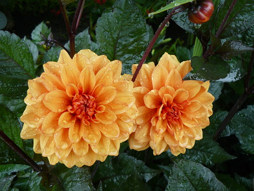 Wet dahlias