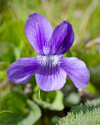 Western Dog Violet by you.