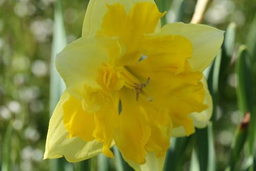 Bicolor Daffodil