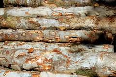 Troncos de haya en la selva de Irati