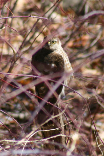Sharp-shinned Hawk checking out feeders