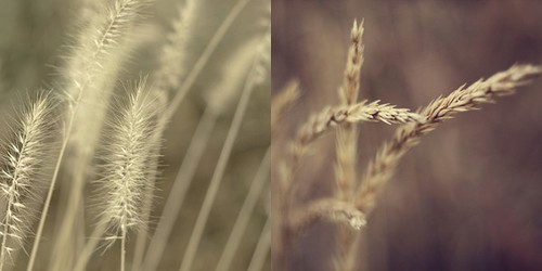 grasses (by CharlaneG)