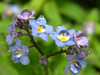 rain_on_forgetmenots