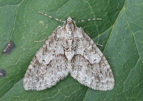 7637 - Cladara limitaria - Mottled Gray Carpet (3)