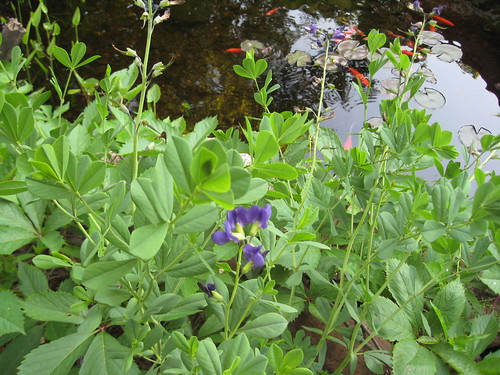 Last of the baptisia blooms