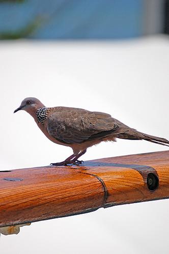 dove on rail