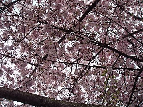 Cherry (?) Blossoms