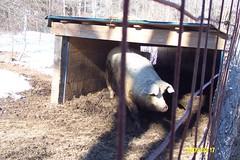 Natick Farm's Pig