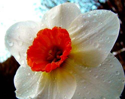 Daffodil Dreamy