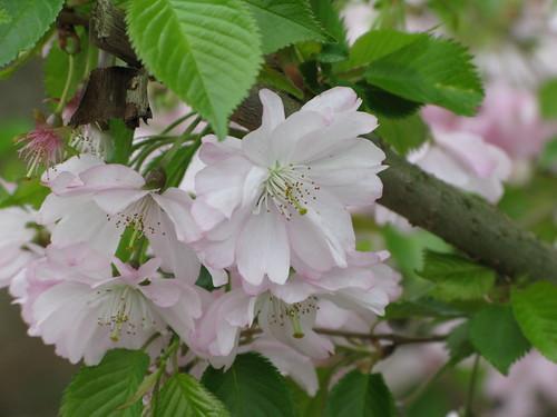 Kirschblüten 004