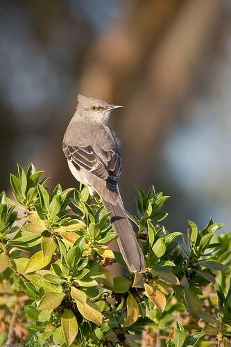 Northern Mockingbird by you.