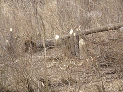 beaver-cuts