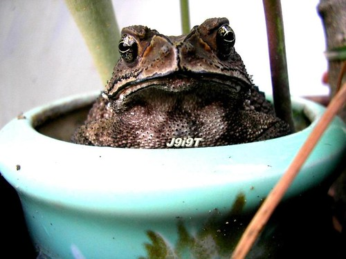 Lovely Toad - Front