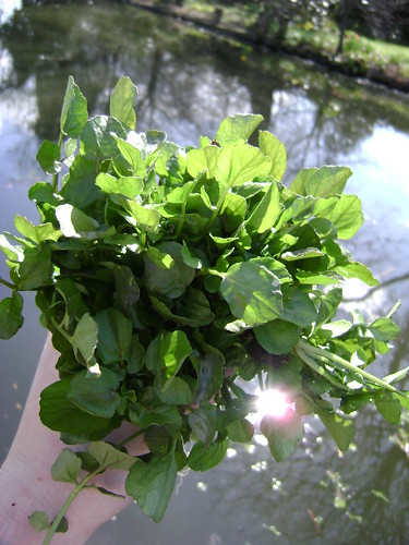 Harvesting Wild Watercress