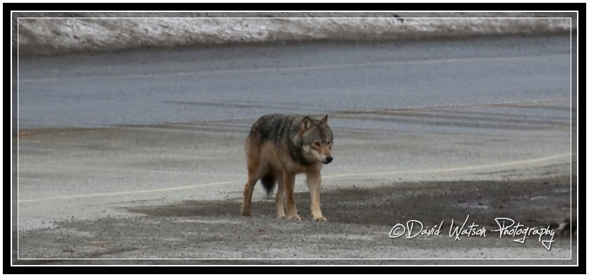 Healthy wolf on side of road
