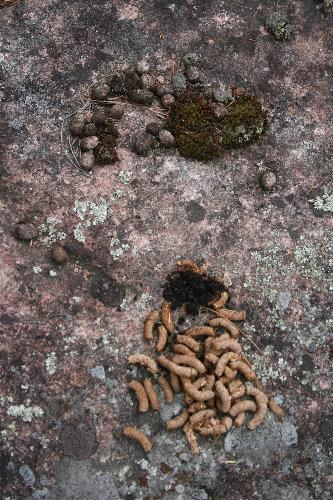 Porcupine poop