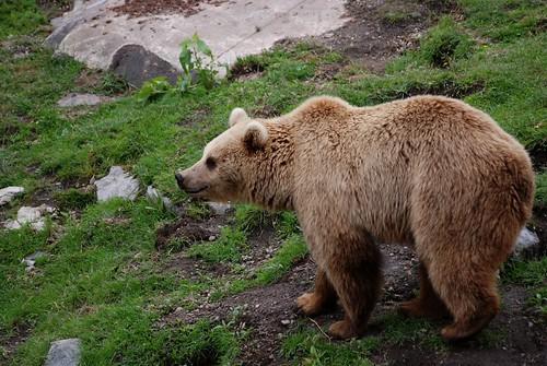 Braunbär im Zoo Helsinki