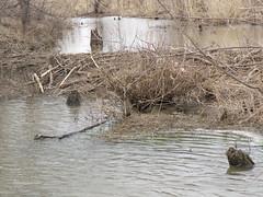 beaver dam - closer