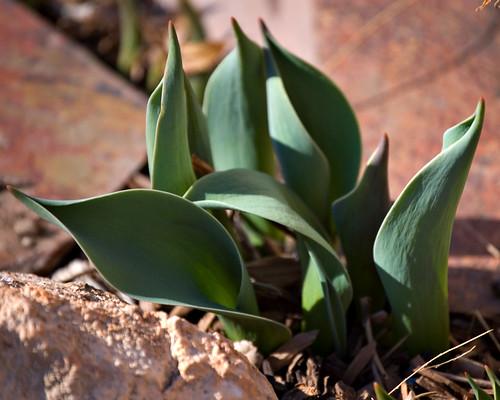 Tulips -- Feb 28