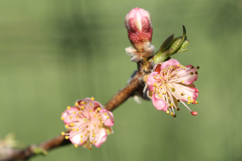 Peach Blossoms 8