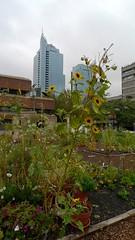 Sunflowers in the community garden